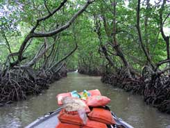 In the mangrove swamp